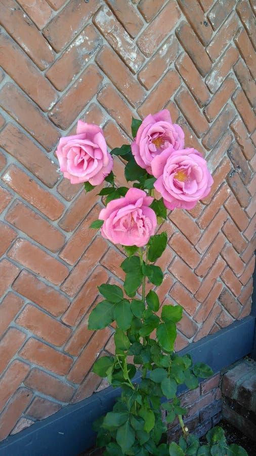 Rosas cor-de-rosa que crescem por uma parede no dia fotos de stock