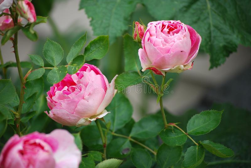 Rosas cor-de-rosa que florescem no jardim imagem de stock