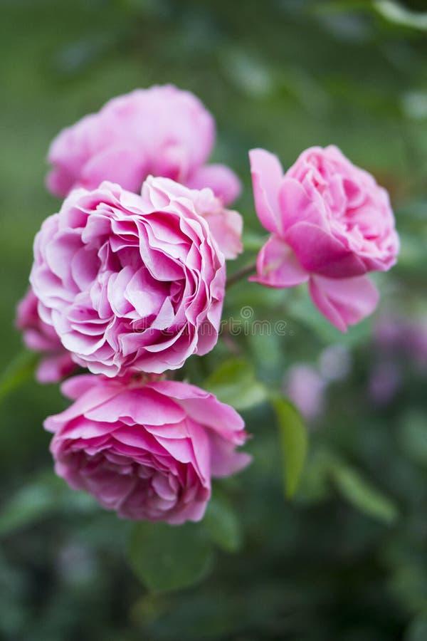 Rosas cor-de-rosa que florescem no jardim foto de stock