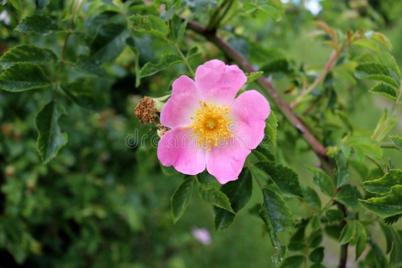 Rosas crecientes salvajes con las flores rosadas, cierre para arriba fotos de archivo libres de regalías