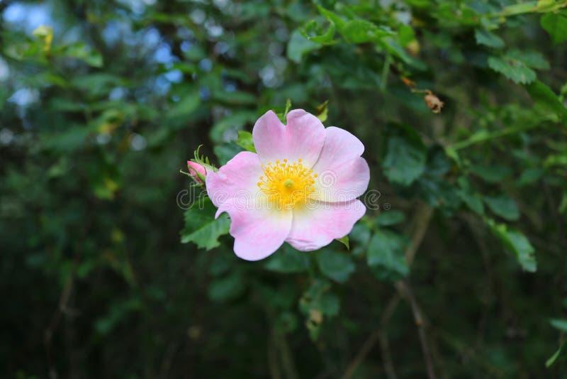 Rosas crecientes salvajes con las flores rosadas, cierre para arriba fotografía de archivo