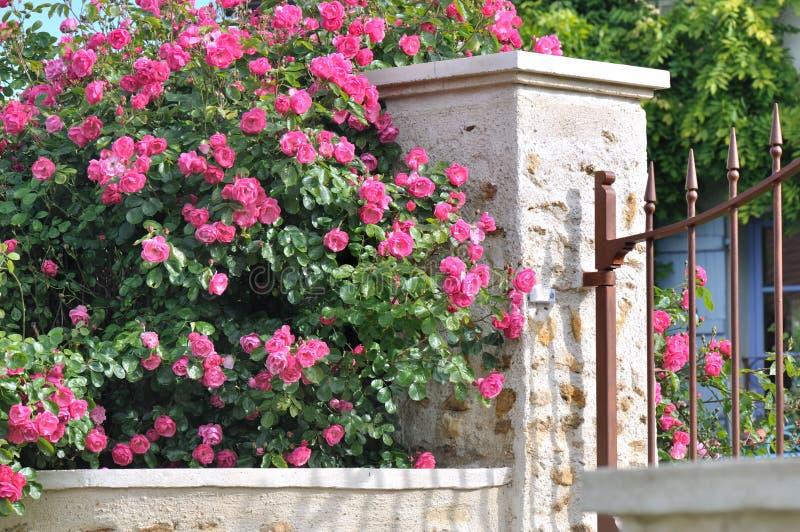 Rosas da conversão foto de stock
