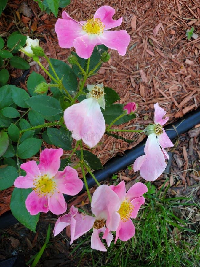 Rosas da cor-de-rosa selvagem imagem de stock royalty free