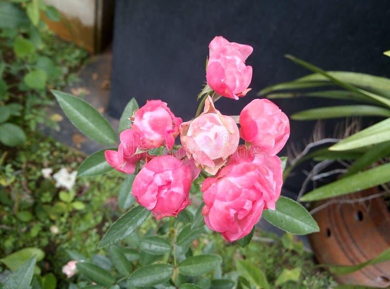 Rosas da flor fotografia de stock royalty free