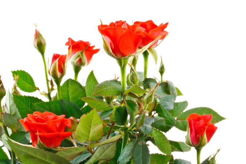 Rosas de arbusto foto de stock