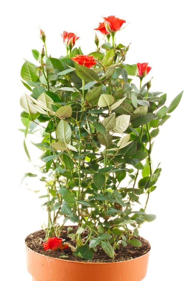 Rosas de arbusto fotografia de stock