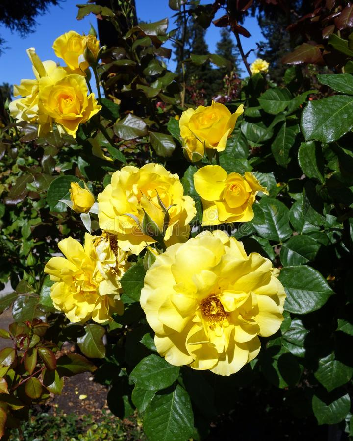 Rosas de chá amarelas fotografia de stock