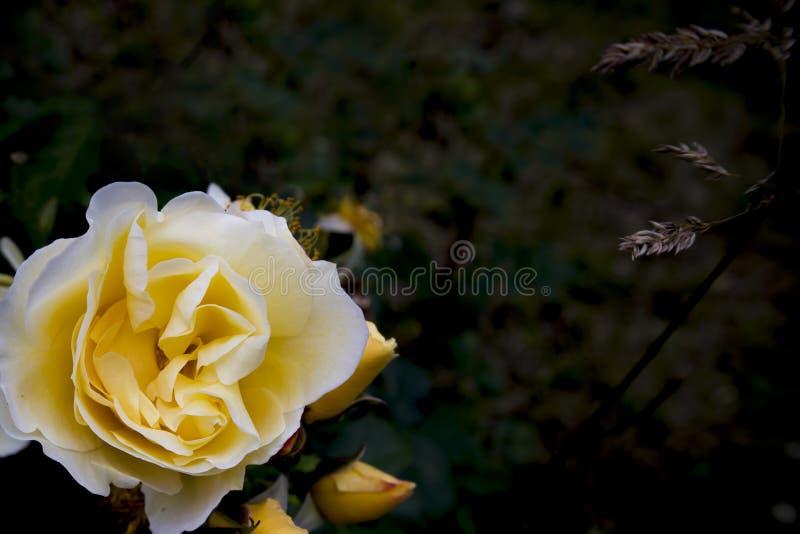 Rosas de chá que crescem na cama de flor, fundo floral bonito imagens de stock