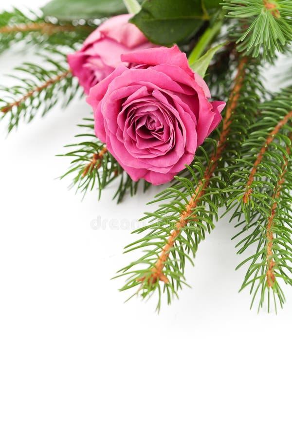 Rosas de Christlmas foto de archivo