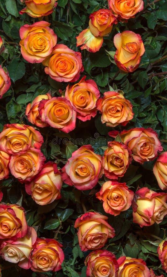Download Rosas De Color Amarillo Oscuro Imagen de archivo - Imagen de coloreado, outdoors: 44856045