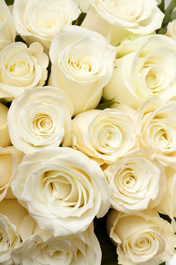 Rosas de creme imagens de stock royalty free
