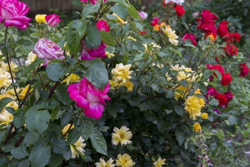 Rosas de diversos colores fotografía de archivo