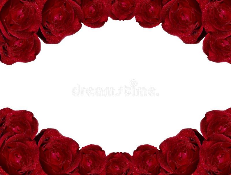 Rosas de la belleza aisladas en el fondo blanco fotos de archivo