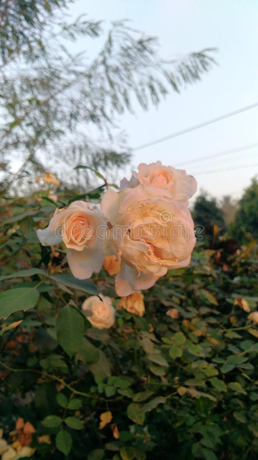 Rosas de la mañana fotos de archivo