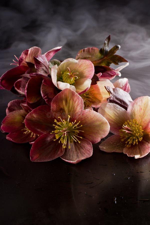 Rosas de la Navidad (hellebore, purpurascens del helleborus) foto de archivo