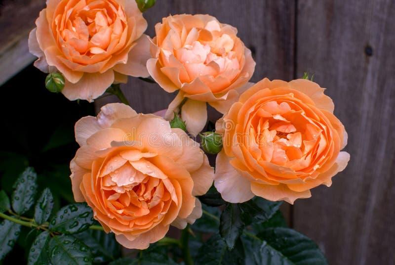Rosas de pêssego contra cerca de madeira rústica imagem de stock