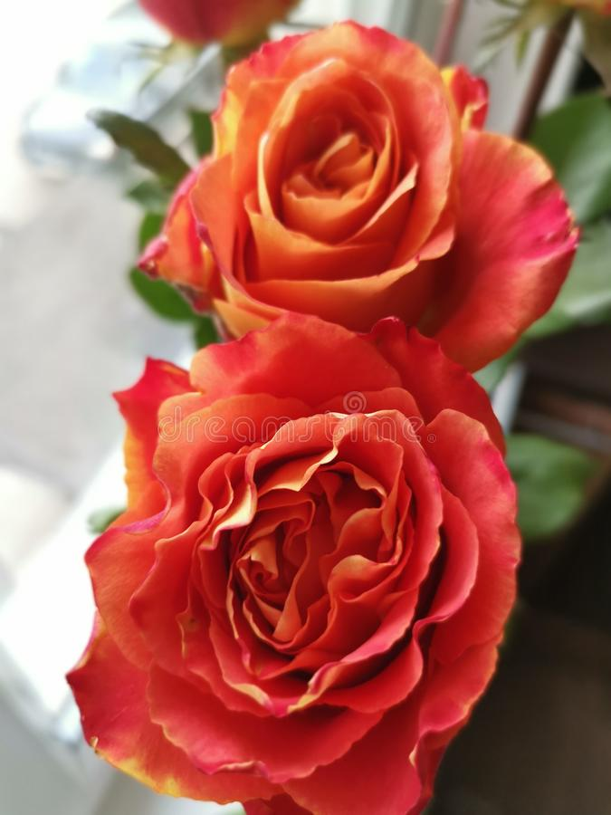 Rosas de surpresa do amor fotos de stock royalty free