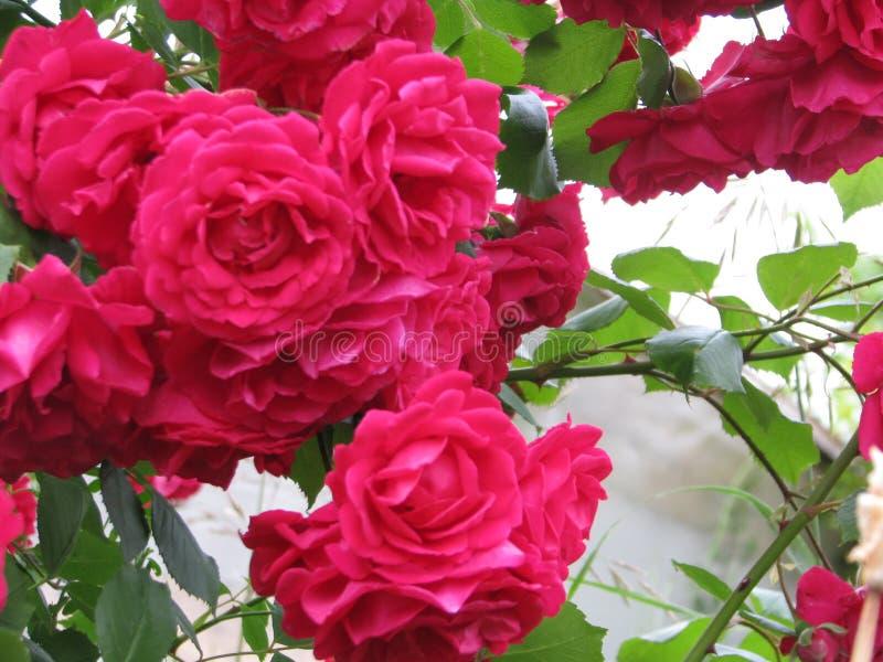Rosas de té rojas muy hermosas imagen de archivo