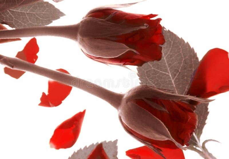 Rosas del día de tarjetas del día de San Valentín fotografía de archivo libre de regalías