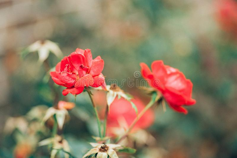 Rosas del golpe de gracia de las rosas fuertes imagen de archivo libre de regalías