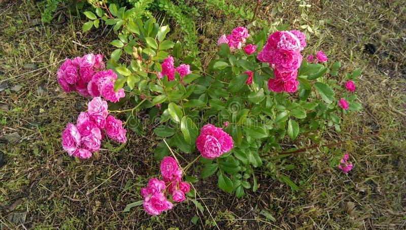 Rosas del jardín foto de archivo libre de regalías
