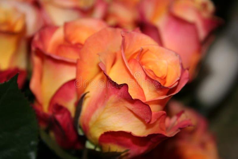 Rosas del rojo anaranjado imagen de archivo