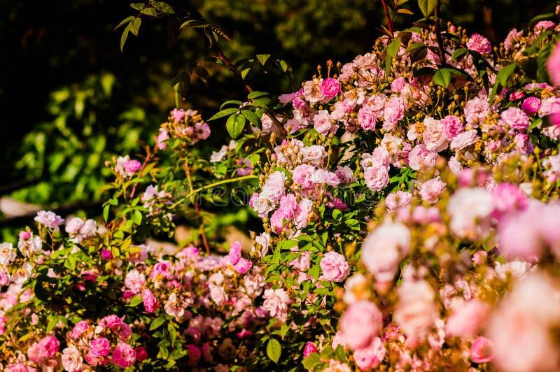 Rosas del rosa salvaje en jardín de la casa del pueblo imagenes de archivo
