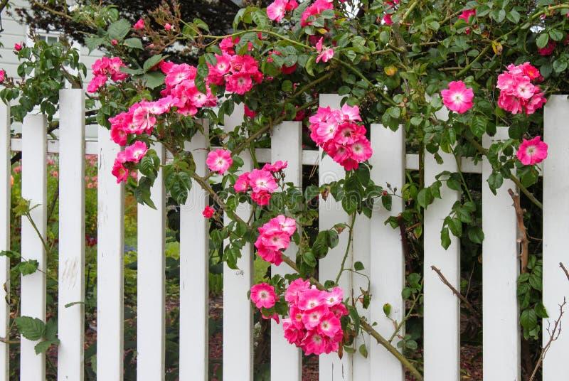 Rosas del rosa salvaje que crecen en una valla de estacas blanca con el jardín de flores que muestra a través fotos de archivo