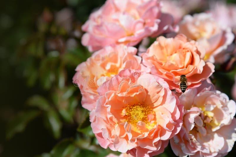 Rosas delicadas florecientes del verano en el fondo festivo floreciente de las flores, tarjeta floral del ramo poner crema rosado imagen de archivo libre de regalías