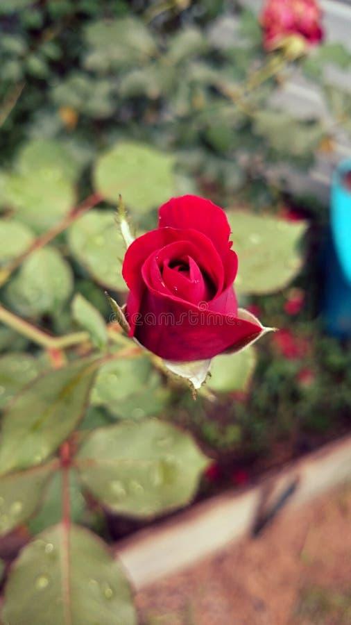Rosas do amor imagem de stock