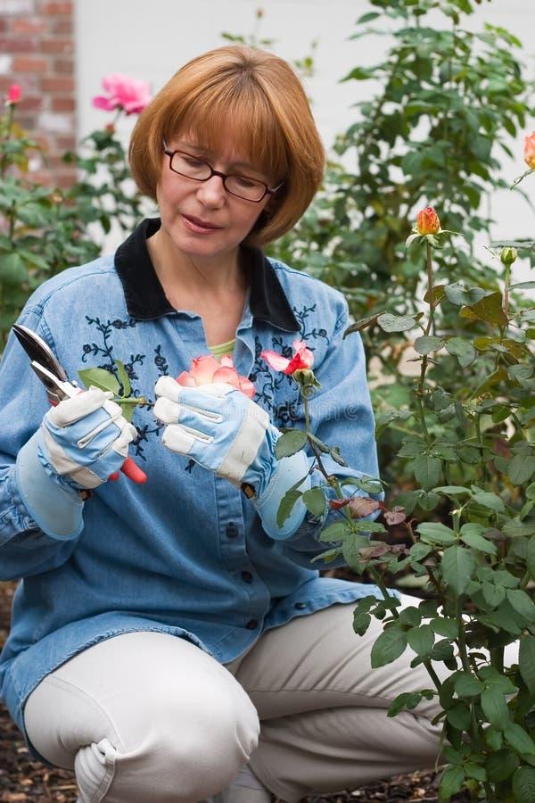 Rosas do corte da mulher no jardim fotografia de stock