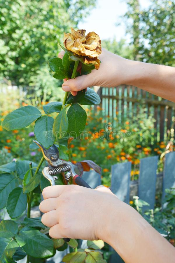 Rosas do Deadheading O Deadheading é um dos formulários os mais fáceis da poda foto de stock