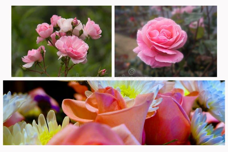 Rosas do jardim da colagem horizontais fotos de stock royalty free