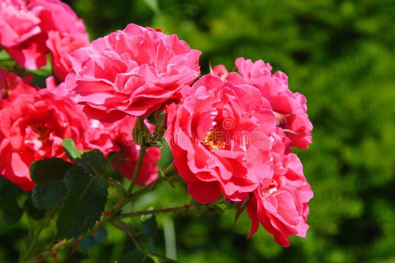 Rosas do jardim do verão fotos de stock