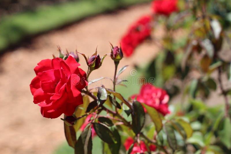 Rosas do verão sem florescer fotos de stock royalty free
