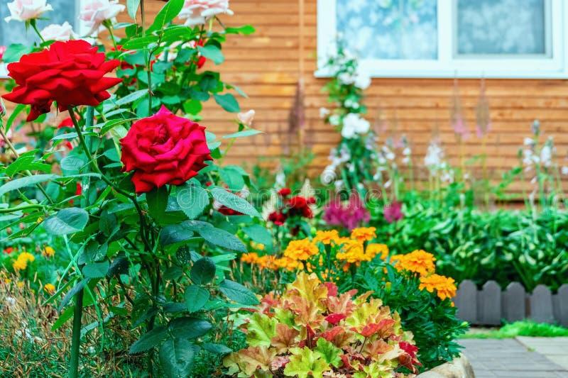 Rosas dos arbustos perto da casa fora Arquitetura paisagista Jardinagem decorativa imagens de stock