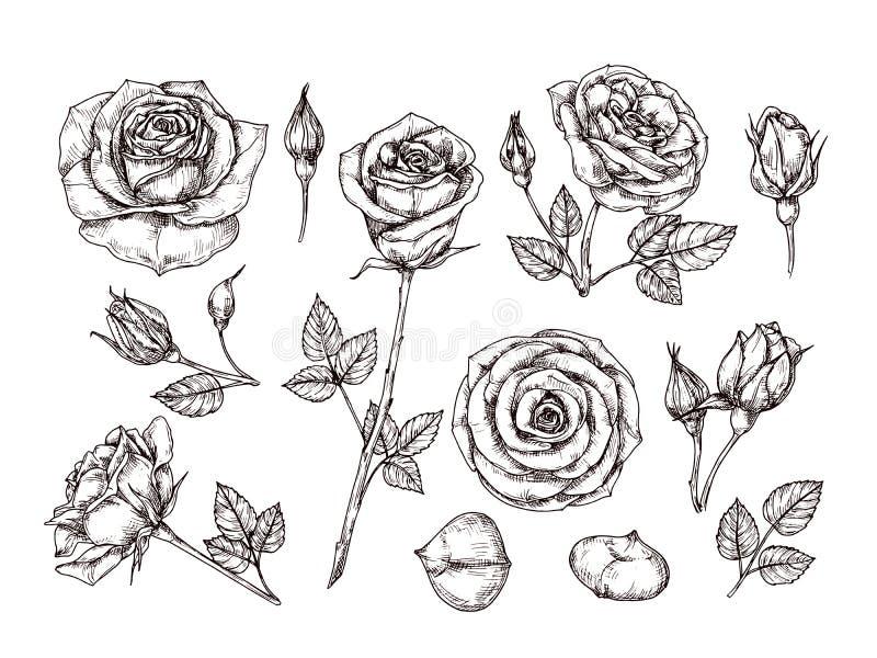 Rosas drenadas mano El bosquejo subió las flores con las espinas y las hojas Botánico blanco y negro del vector de la aguafuerte  stock de ilustración