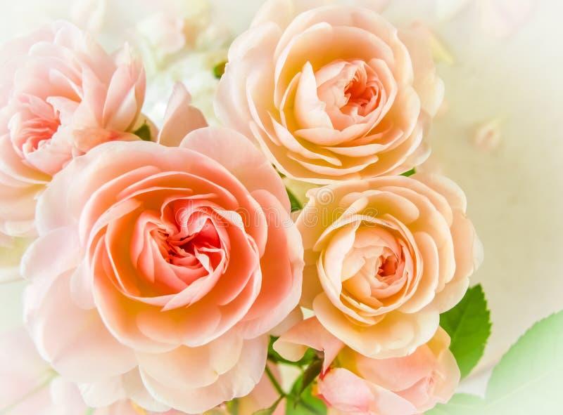 Rosas e pétalas delicadas em um fundo branco na luz solar Mola Aperfeiçoe para o cartão do fundo fotografia de stock
