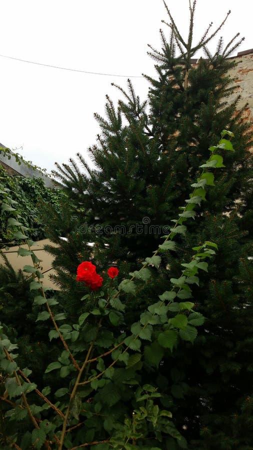 Rosas e verde fotografia de stock