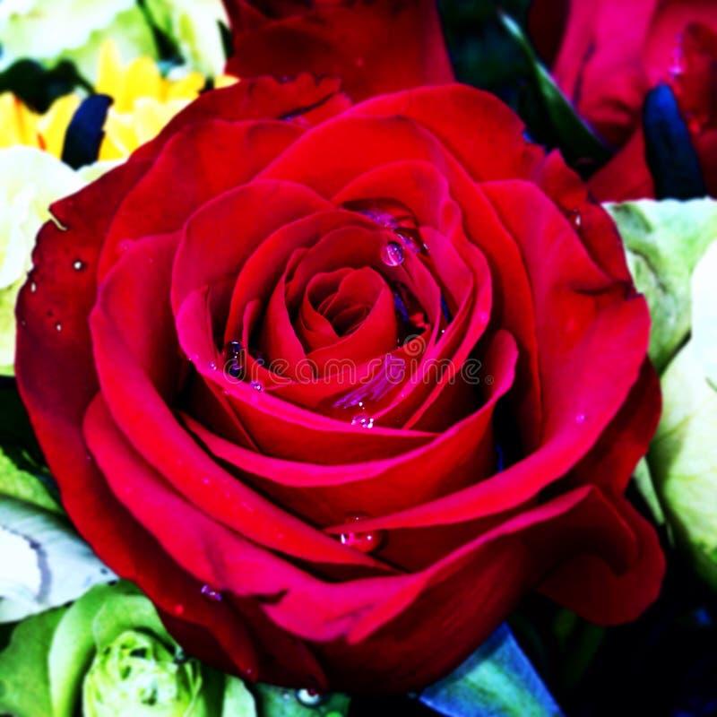 Rosas ecuatorianas royalty free stock image