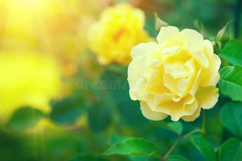 rosas El subir amarillo hermoso subió floreciendo en jardín del verano Crecimiento de flores de las rosas amarillas al aire libre fotos de archivo libres de regalías