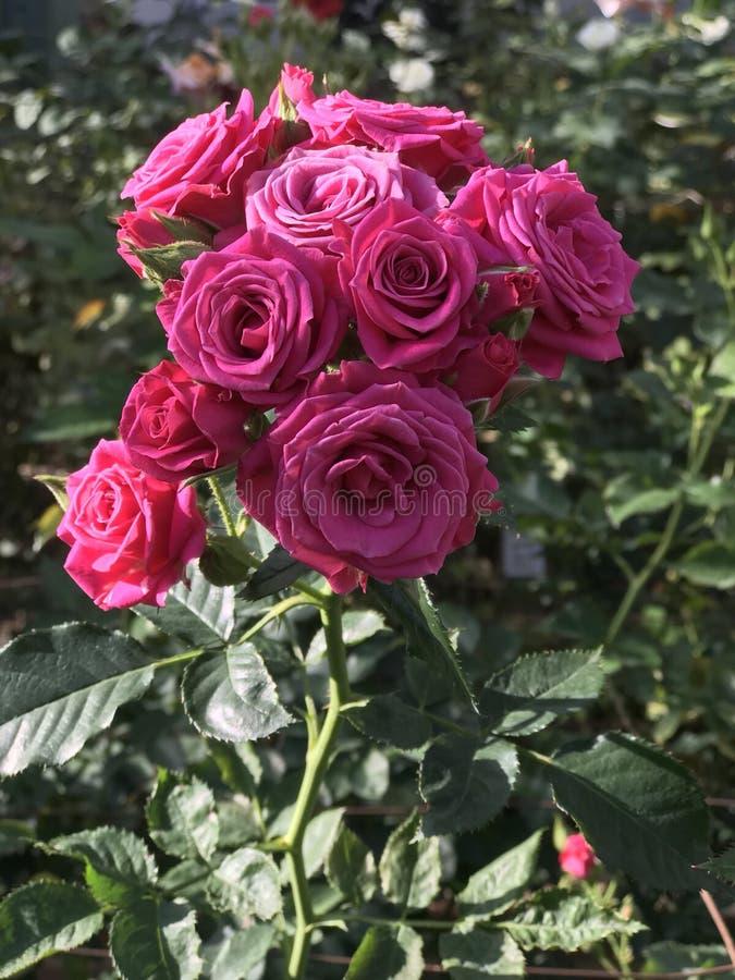 Rosas em jardins de Longwood foto de stock