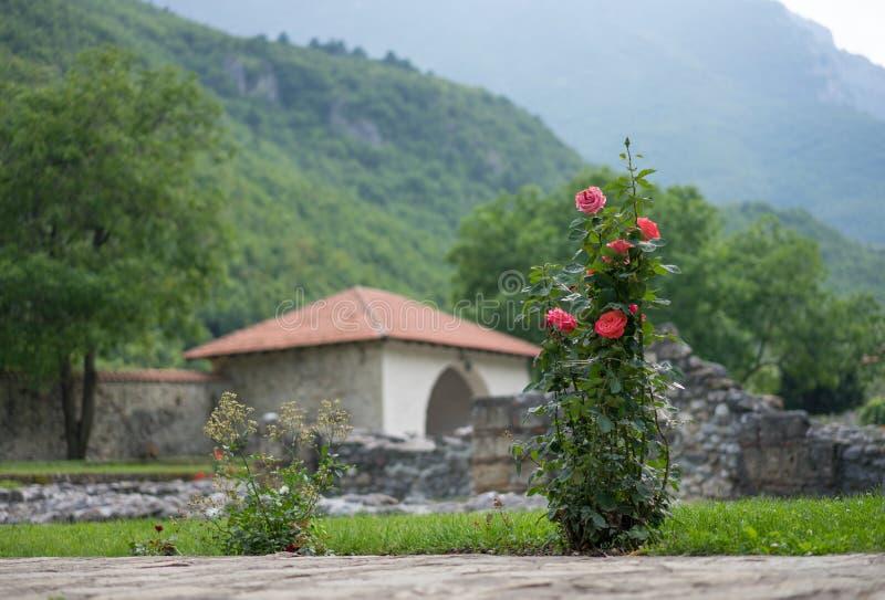 Rosas em Kosovo fotografia de stock