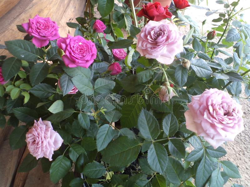 Miniature Roses, Mixed Colors. Little pink roses, popular name pink girl, grown in floriculture in Barrão de Cocais stock image
