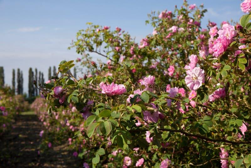 Rosas em um campo agrícola imagens de stock