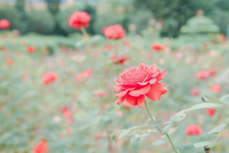 Rosas em um jardim fotografia de stock royalty free