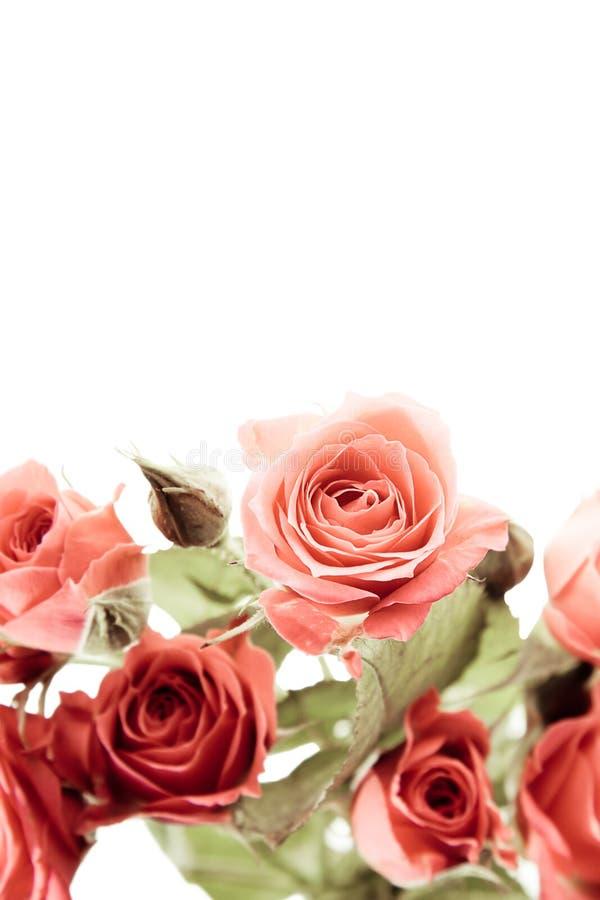 Rosas en blanco fotografía de archivo libre de regalías