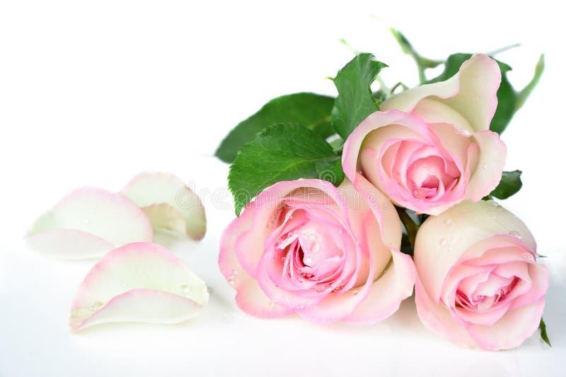 Rosas en descensos del rocío imagen de archivo libre de regalías