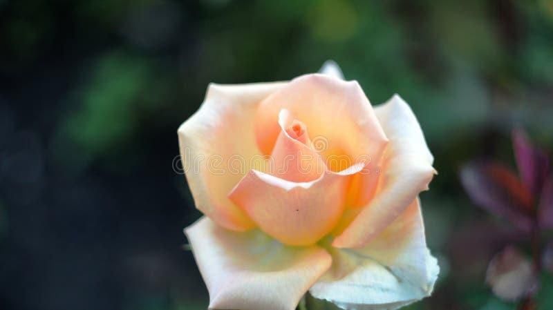 Rosas en el macizo de flores de la ciudad fotografía de archivo