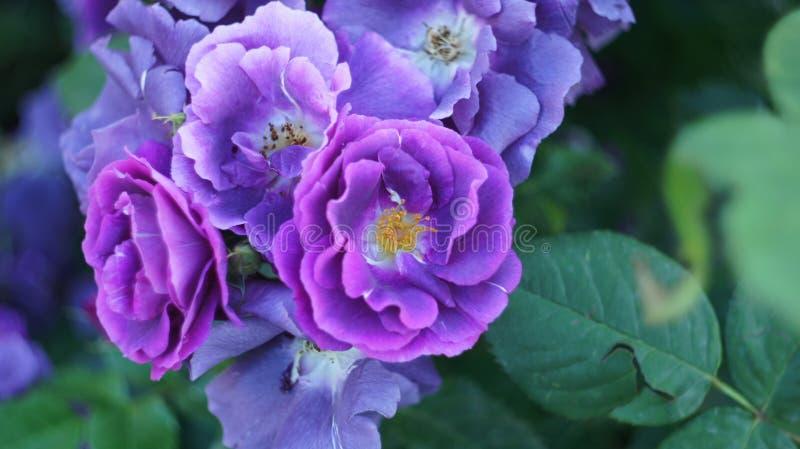Rosas en el macizo de flores de la ciudad fotografía de archivo libre de regalías